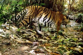 World's largest tiger protection reserve
