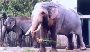 World's oldest elephant in captivity