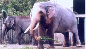 World's oldest elephant in captivity